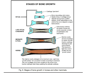 schedule of bone growth in horses