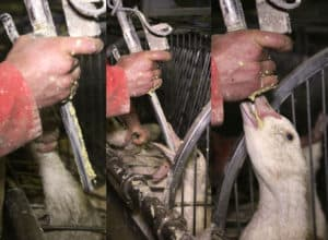 Gavage Foie Gras Force Feeding