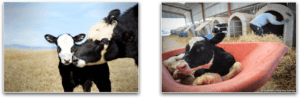 Mother Cow And Her Baby vs Baby Calf Taken for Veal in Dairy Industry