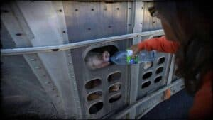 Anita Krajnc, co-founder of Toronto Pig Save, is shown giving water out of a bottle to a thirsty pig through an opening in the cattle trucks side.