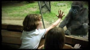 Two small children are shown next to a glass screen. One child has their hand upon the glass. The view the other side is of a zoo compound. Opposite to the children, the other side of the glass, a small gorilla crouches down.