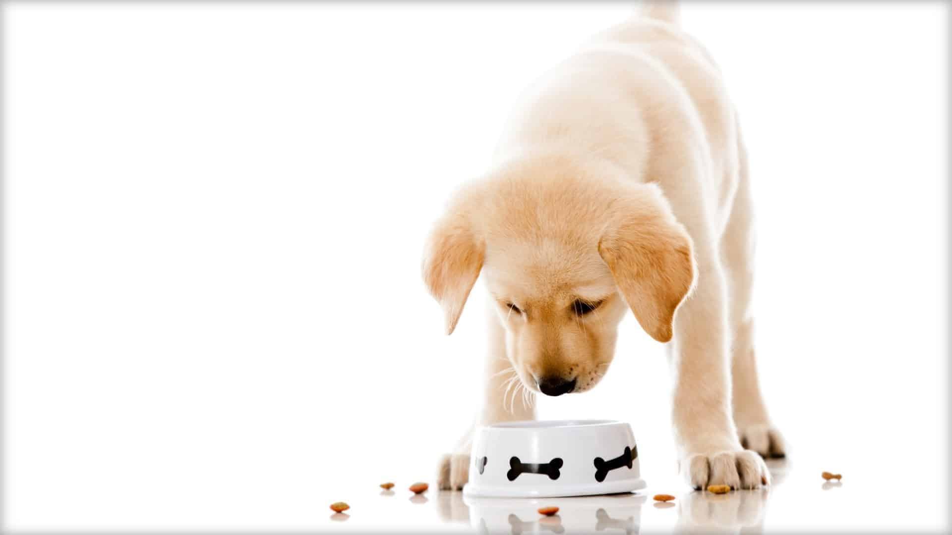 A beautiful puppy is shown looking down at its food bowl