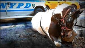 A carriage horse collapsed on the pavement in New York City, with an NYPD police car in the background.