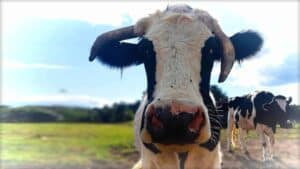 The image shows a close-up of Fargo, a beautiful cow that is now happily living at the Sasha Farm Animal Sanctuary.
