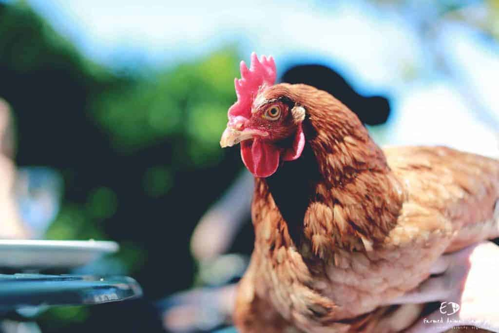 The image is of Diana.  She is a beautful hen rescued by the Eden Farmed Animal Sanctuary.