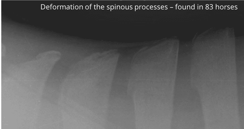An xray of a horse's spine showing deformation of the spinous processes, found in 31.1% of horses in the Harm of Riding Study by Maksida Vogt.