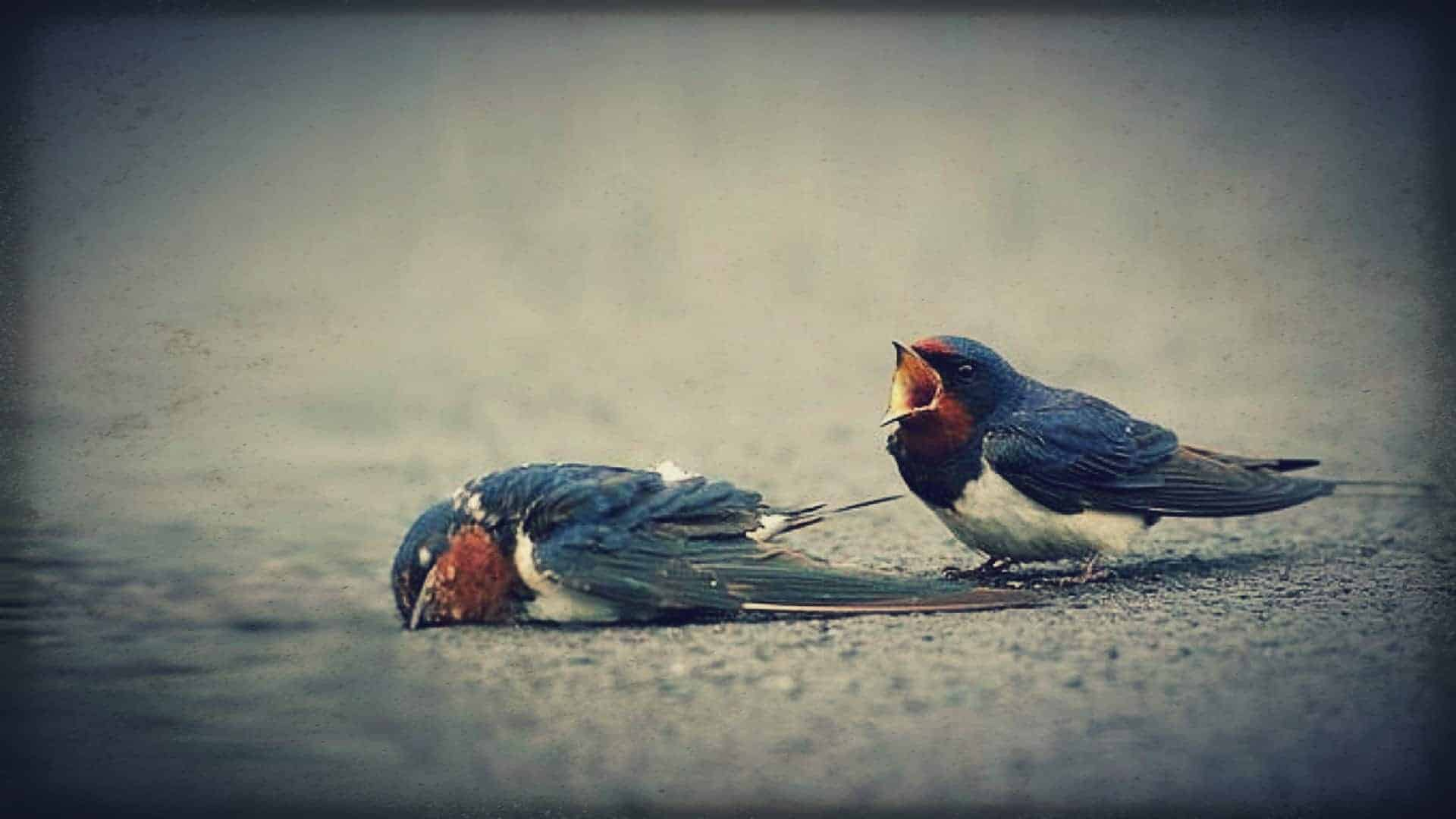 Two small birds are shown on the ground. One is dead. The other is standing over the body, its mouth open as if wailing in grief.