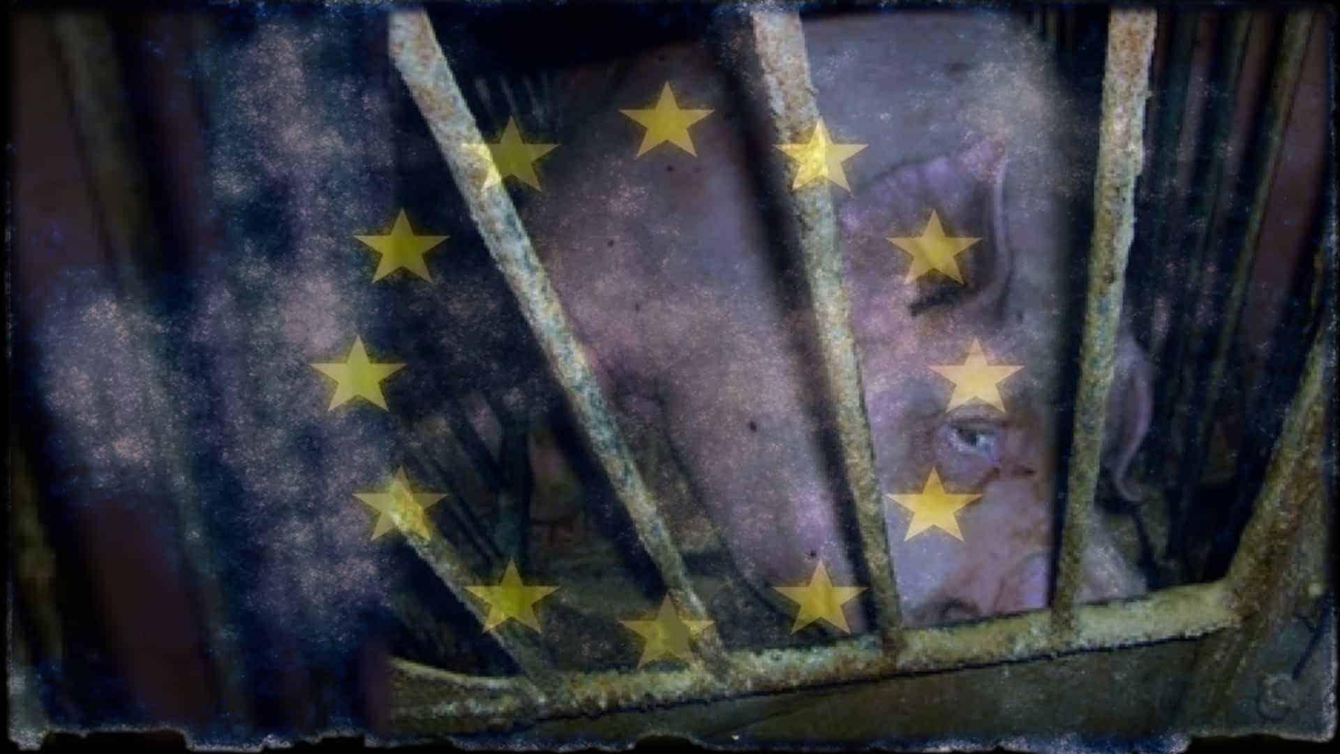 A pig looks forlornly towards the camera. It is on its side, held in a tiny metal cage. Overlaying the image is the flag of the European Union.