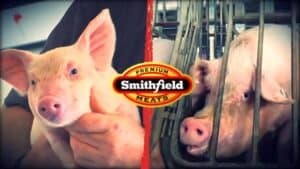 """The image is split in two. On the left is a close up of a piglet being held in a person's arms. On the right is a close up of a pig in a tiny metal crate. The animal is fully immobilized by the crate. Spanning across the center of the tow images is the """"Smithfield Premium Meats"""" logo."""