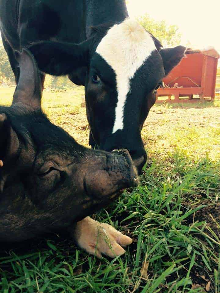 Gizmo The Pig at the Rowdy Girl Sanctuary
