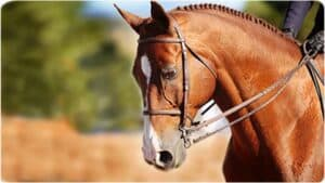 Close up of the face of a horse being ridden for dressage; her chin is drawn in at an unnatural angle due to the rider pulling on the reins attached to a metal bit in her mouth.