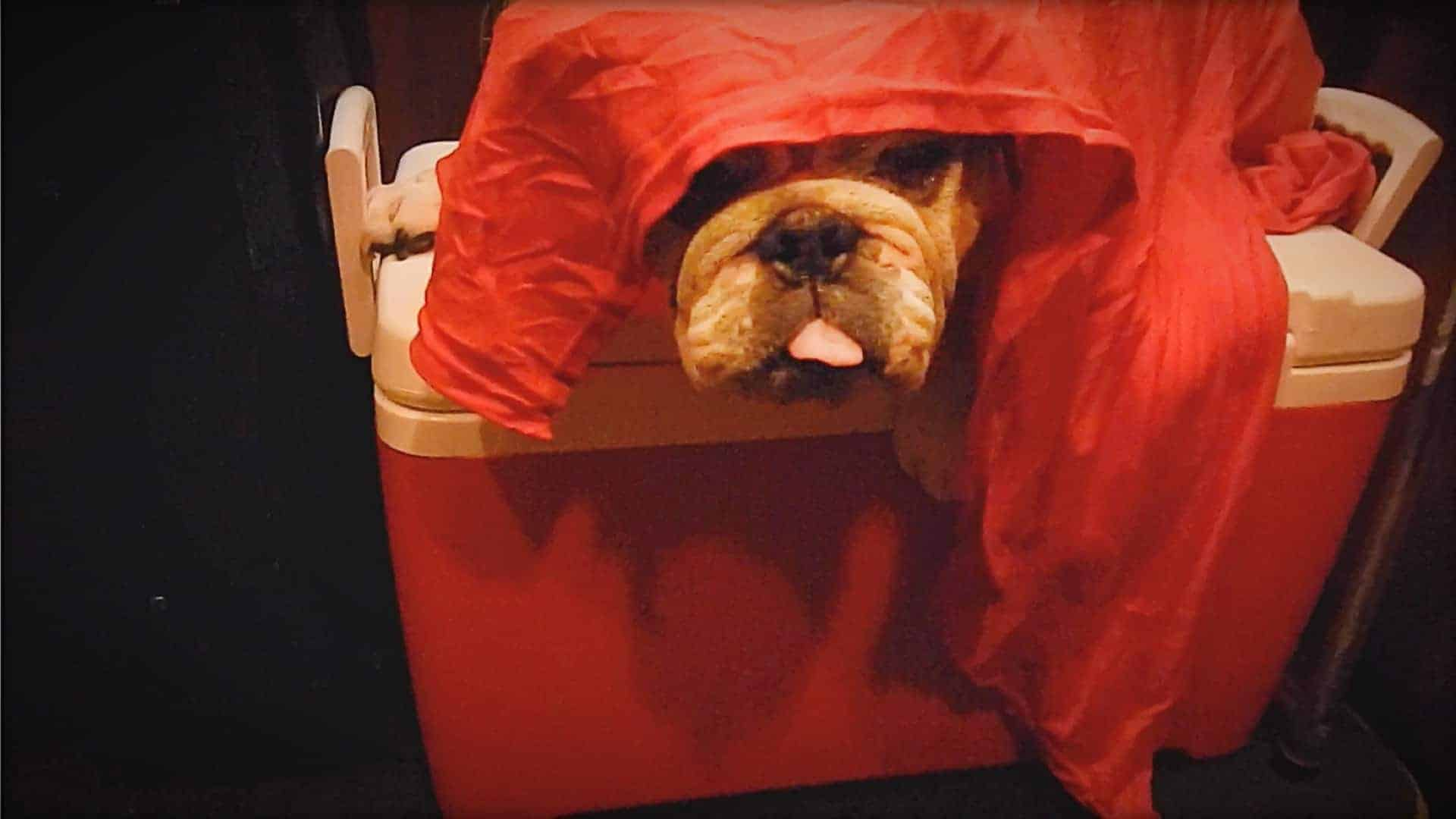 The image shows a close-up of Ooby, Emily Moran Barwick of Bite Size Vegan beloved bulldog. Ooby is barely visible. His snout is just poking out from under a blanket. He appears to be lying across a cool box.