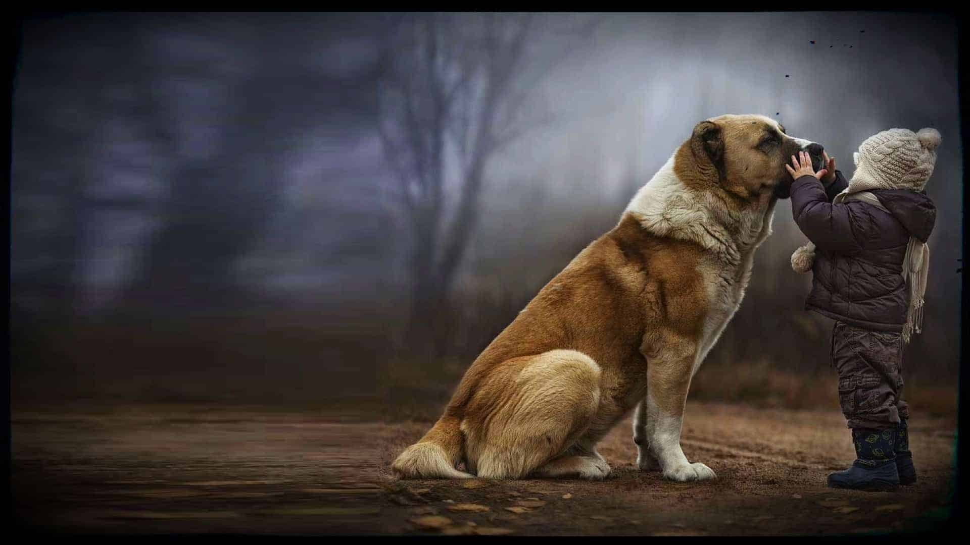 In a beautiful scene, a large, truly gorgeous, dog sits on its hind legs waiting patiently whilst a small child reaches up and gently grabs the dog's muzzle.