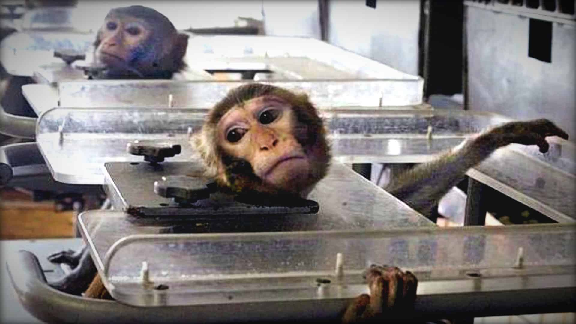 The image shows two small monkeys trapped in Perspex boxes. Their heads are poking through the top and a clamp is pressing against their necks to prevent them from moving their head.
