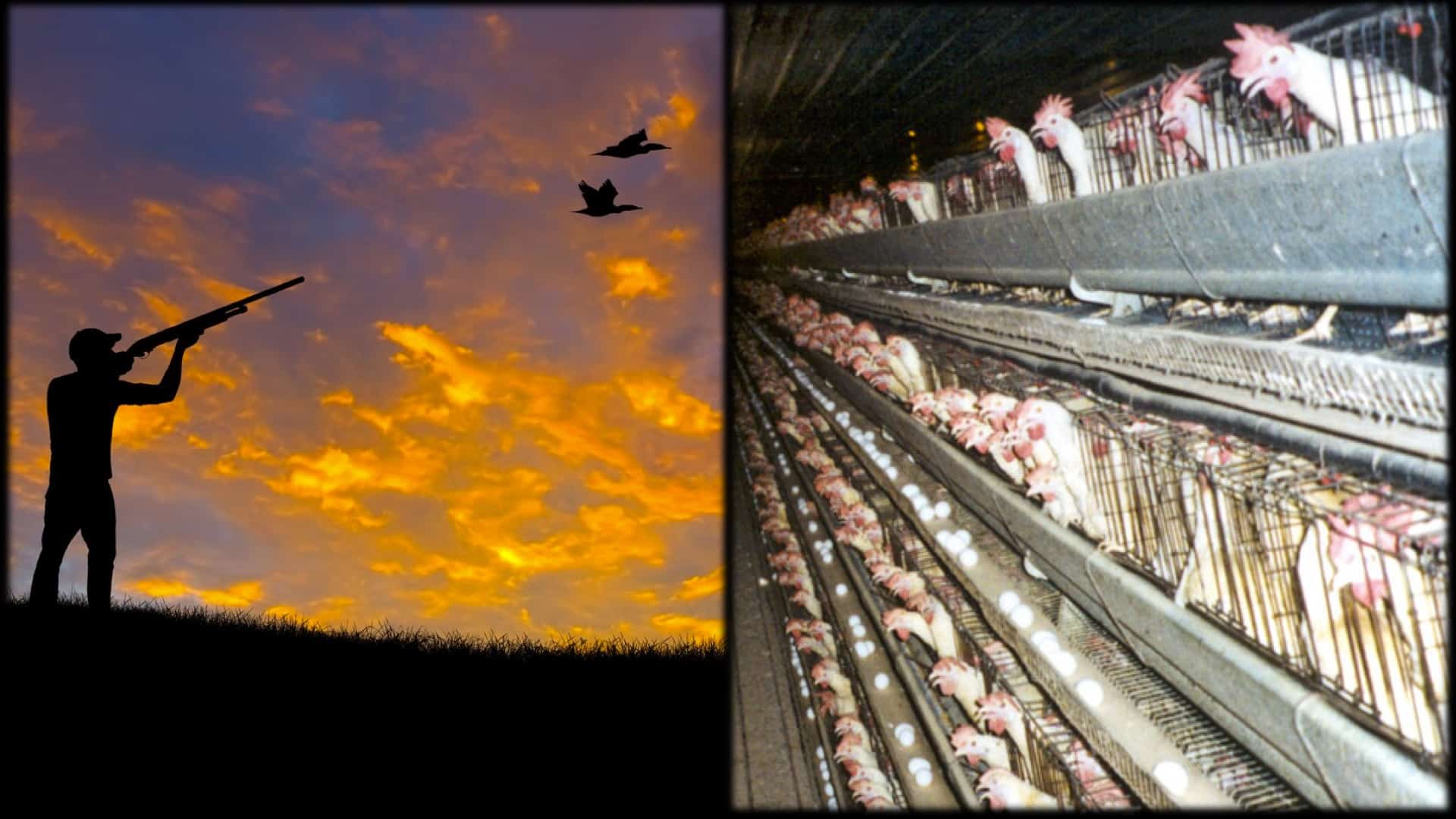 On the left a person is shown in silhouette as they shoot at birds flying over head with a shotgun. On the right is an image of row after row after row of battery chickens in tiny cages.