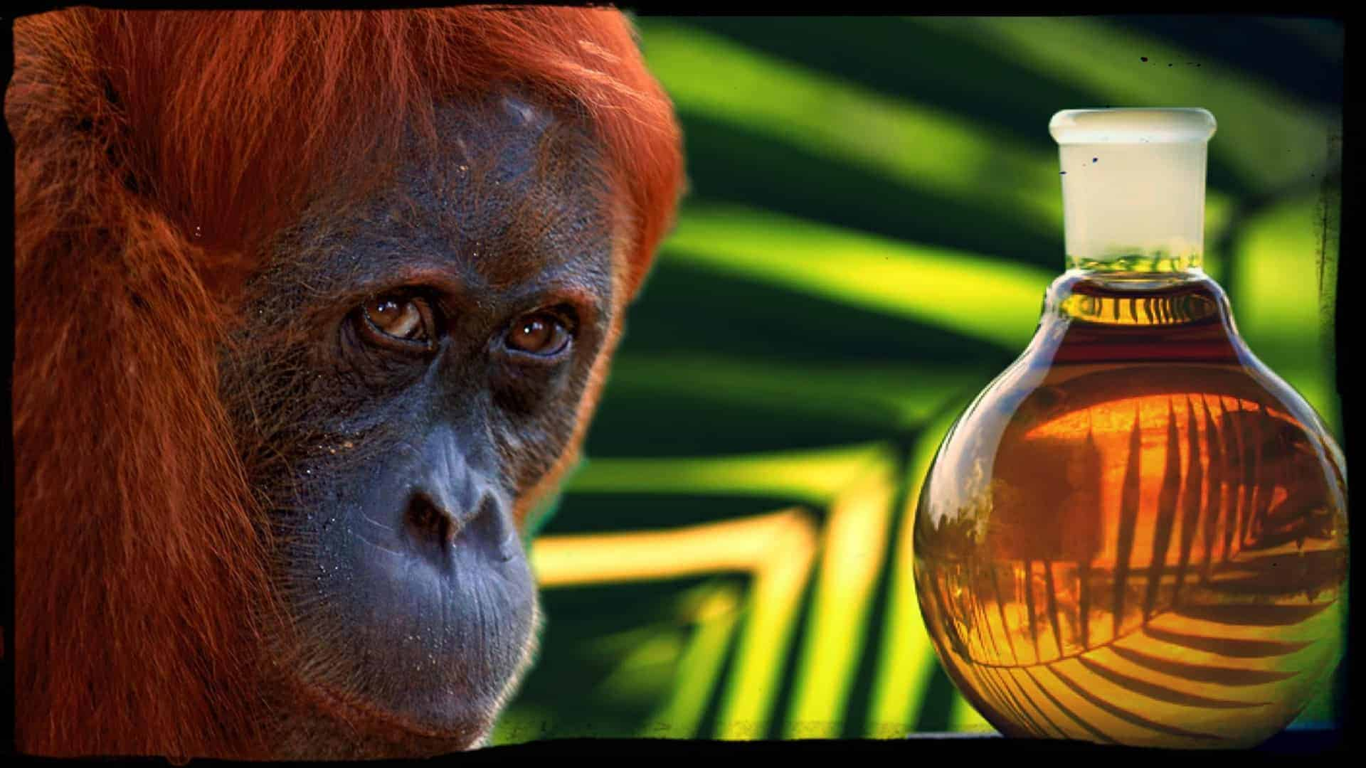 A close of the face of a beautiful orangutan is shown next to a glass bottle of palm oil.