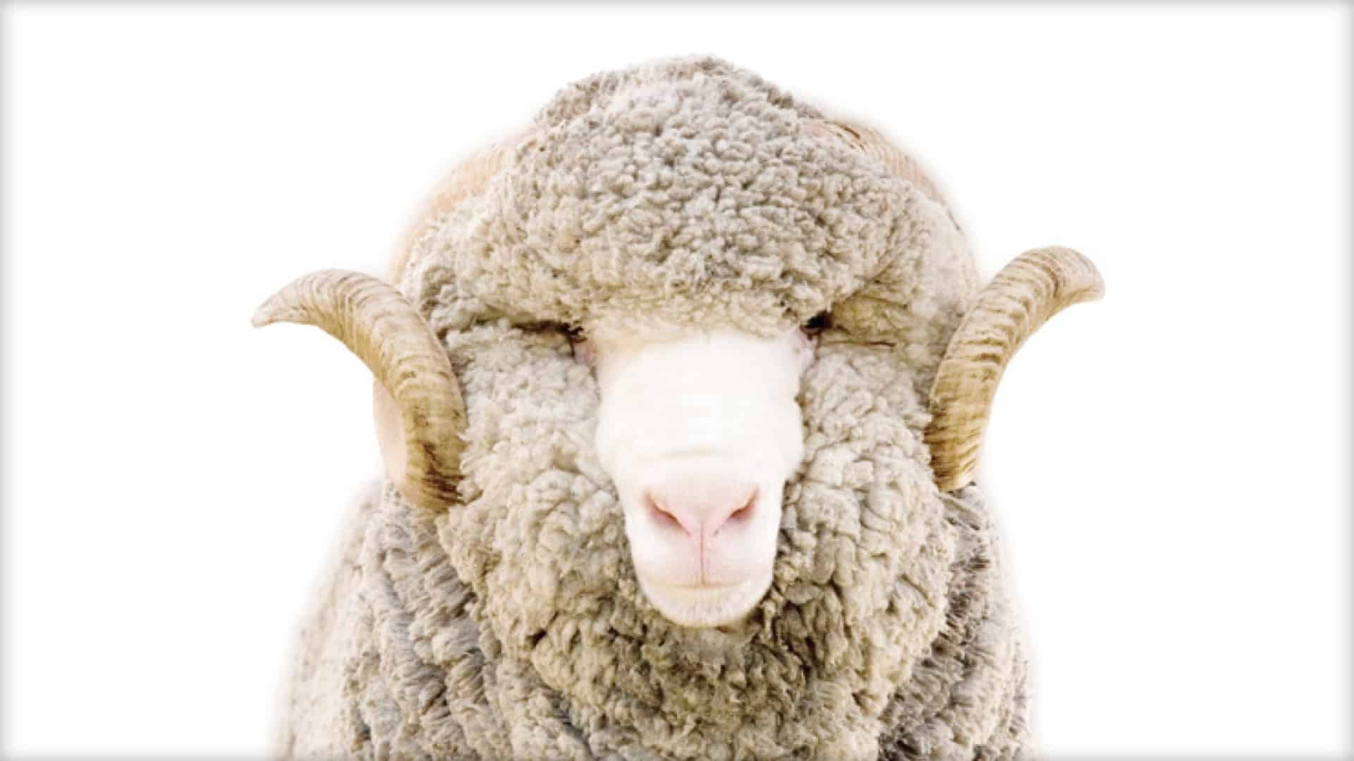 The image shows a close-up of a gorgeous curly horned ram.