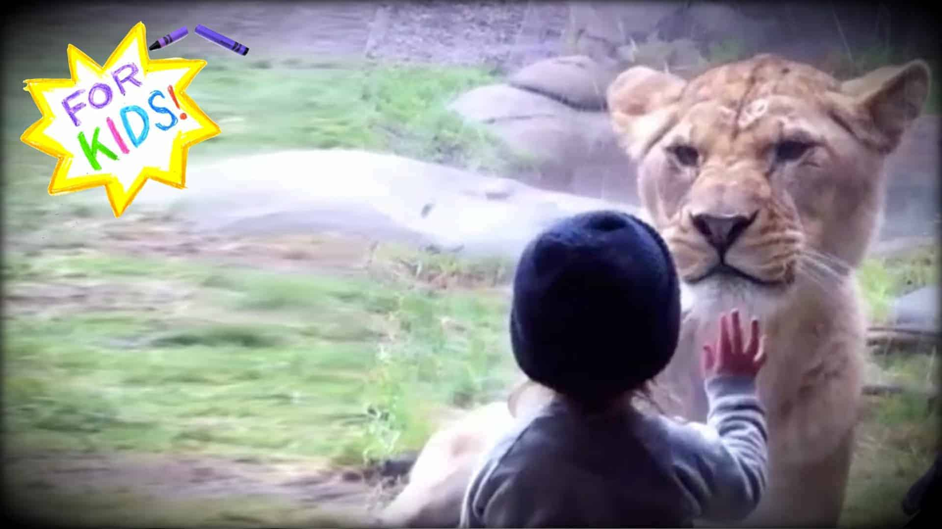"""A small child is seen with their hand up against the glass that separates them from the lioness. The lioness is only inches away and looking directly at the child. In the top left corner is a hand drawn yellow and white star, rendered in crayon, with the words """"For Kids!"""" in various colors written in the center."""