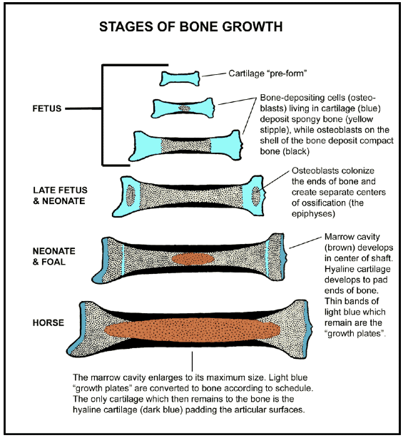 A diagram depicting the stages of bone growth in horses and other mammals through the stages: fetus, late fetus & neonate, neonate & foal, and horse.