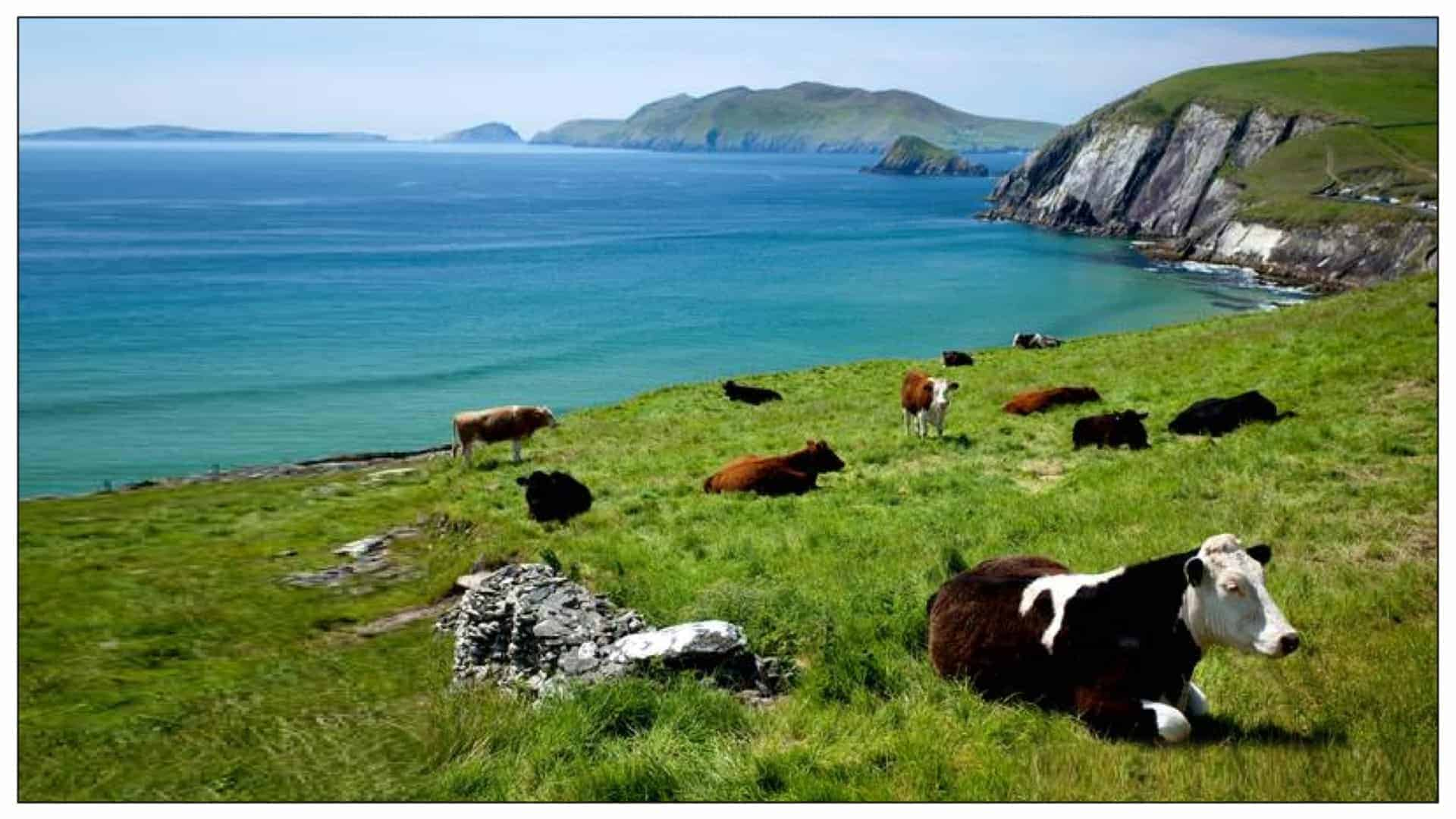 A group of cows scattered across a lush green hillside sloping downwards into a vibrant blue ocean, the visual embodiment of idealized animal agriculture and human practices.