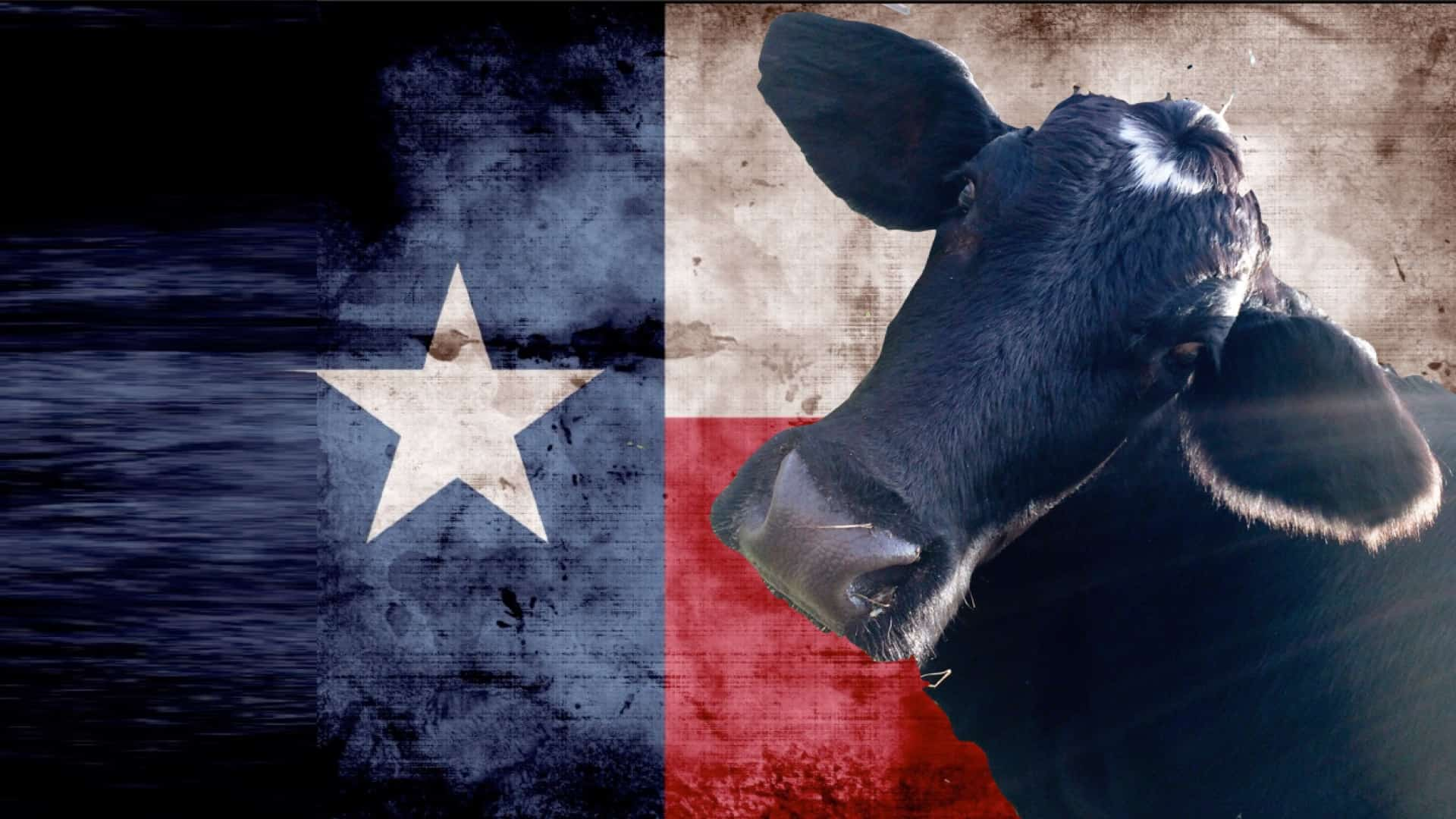 The background is taken up by the flag of Texas. In close up, in the foreground is the head and shoulders of a beautiful black cow. The cow is looking directly into the camera.