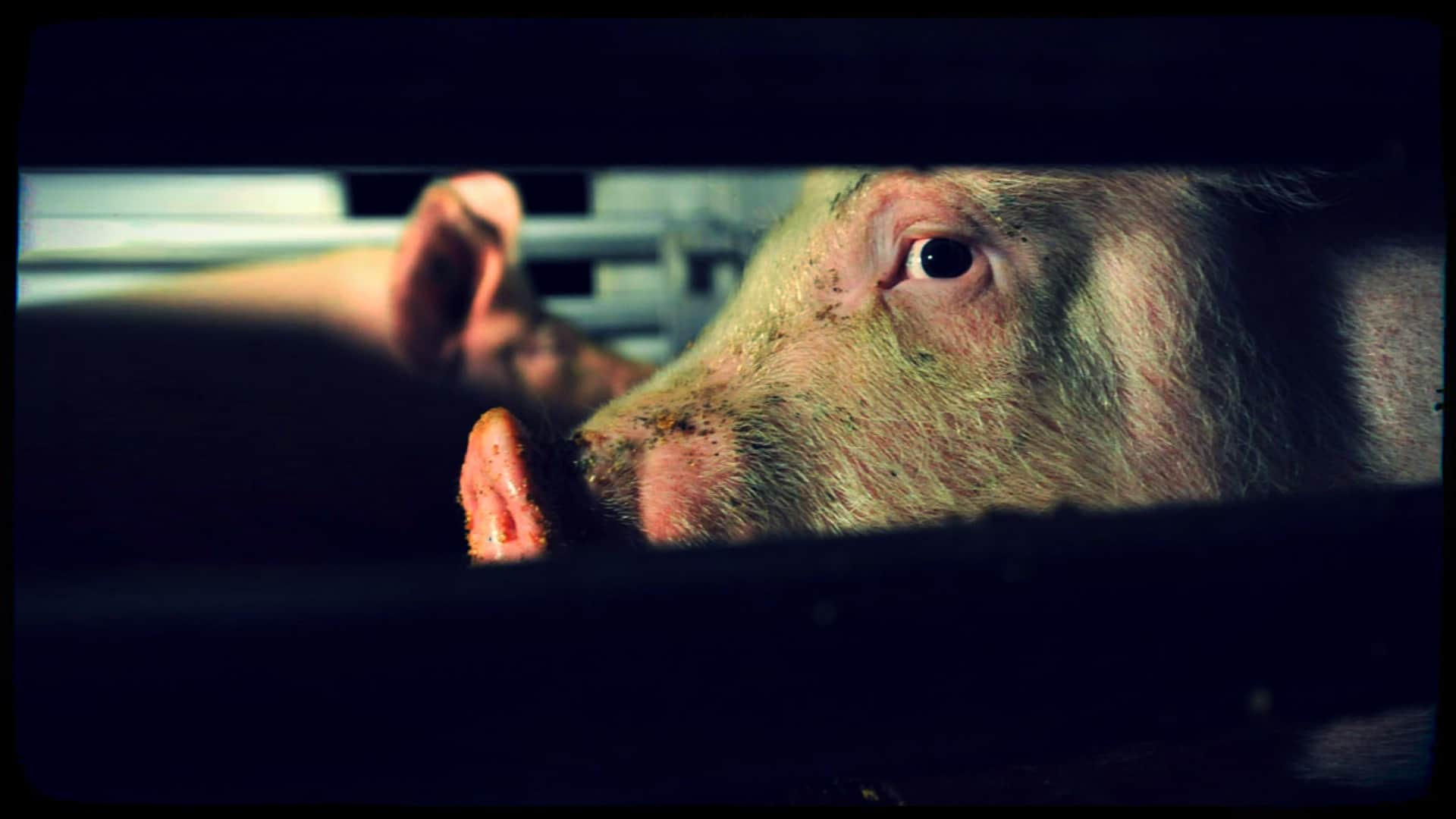 A haunting close-up of the face of a pig is shown through a cattle truck window.