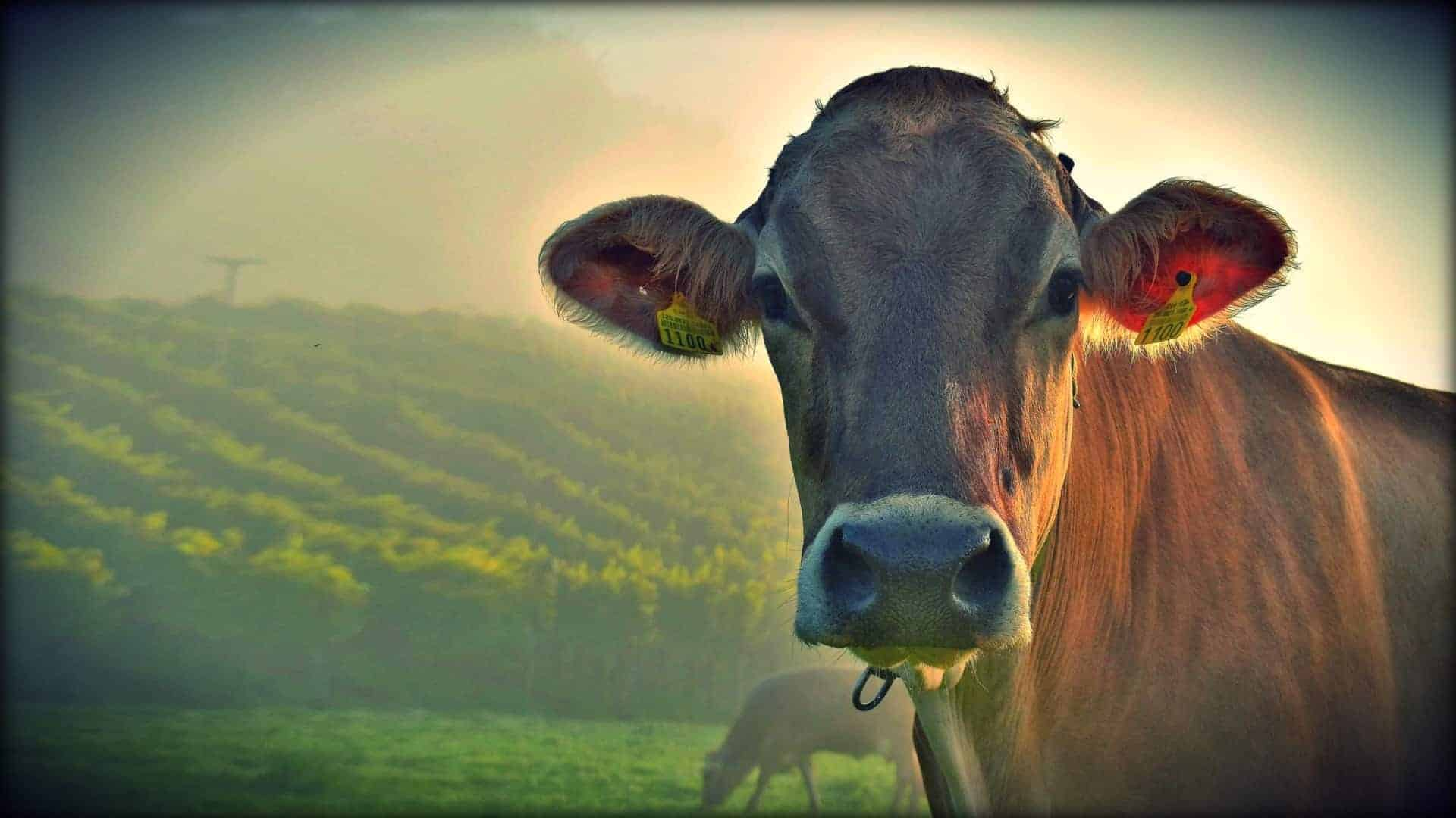 brown cow standing in a green field facing camera