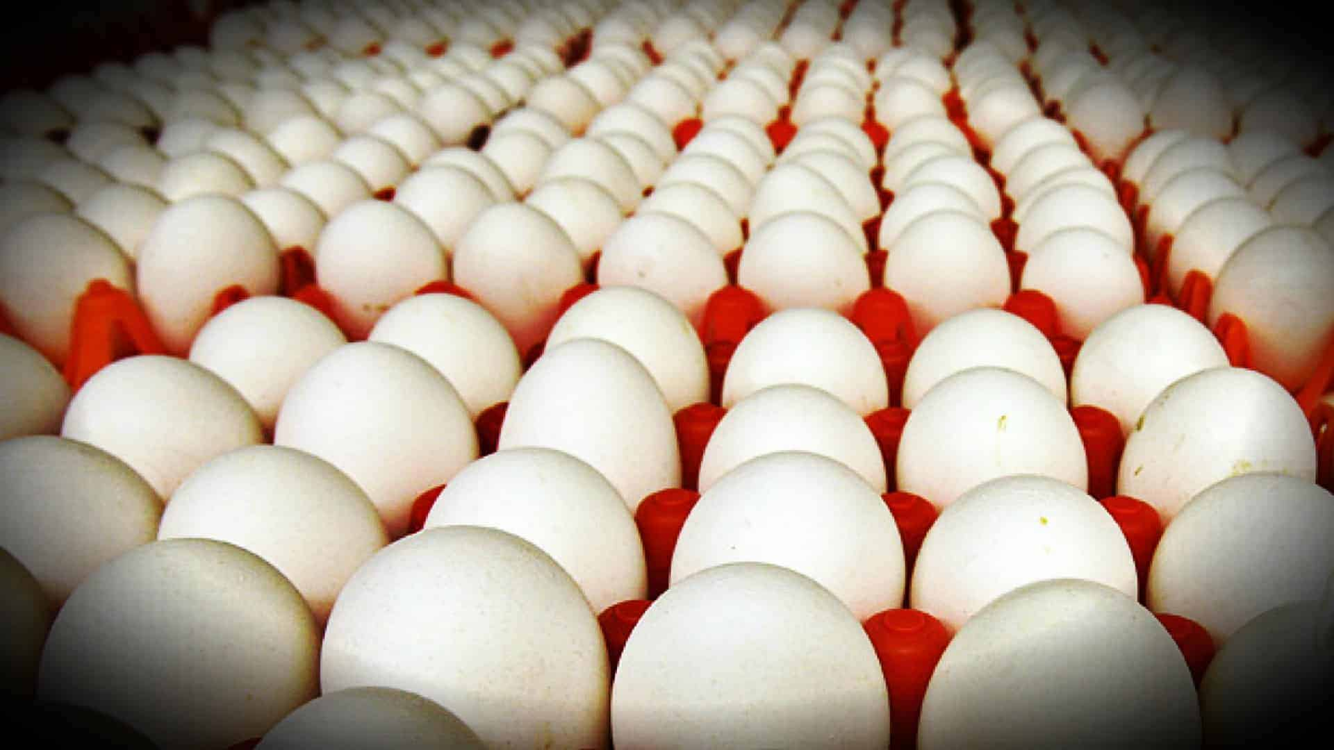Dozens of trays of large white eggs are shown, filling the image.