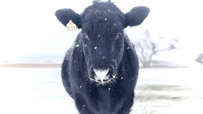 A beautifully striking head-on view a black cow in sharp focus, surrounded by a white landscape of snow, with flecks of snow falling on and around him. This is Rocco, one of the eight cows rescued from a livestock trailer accident.