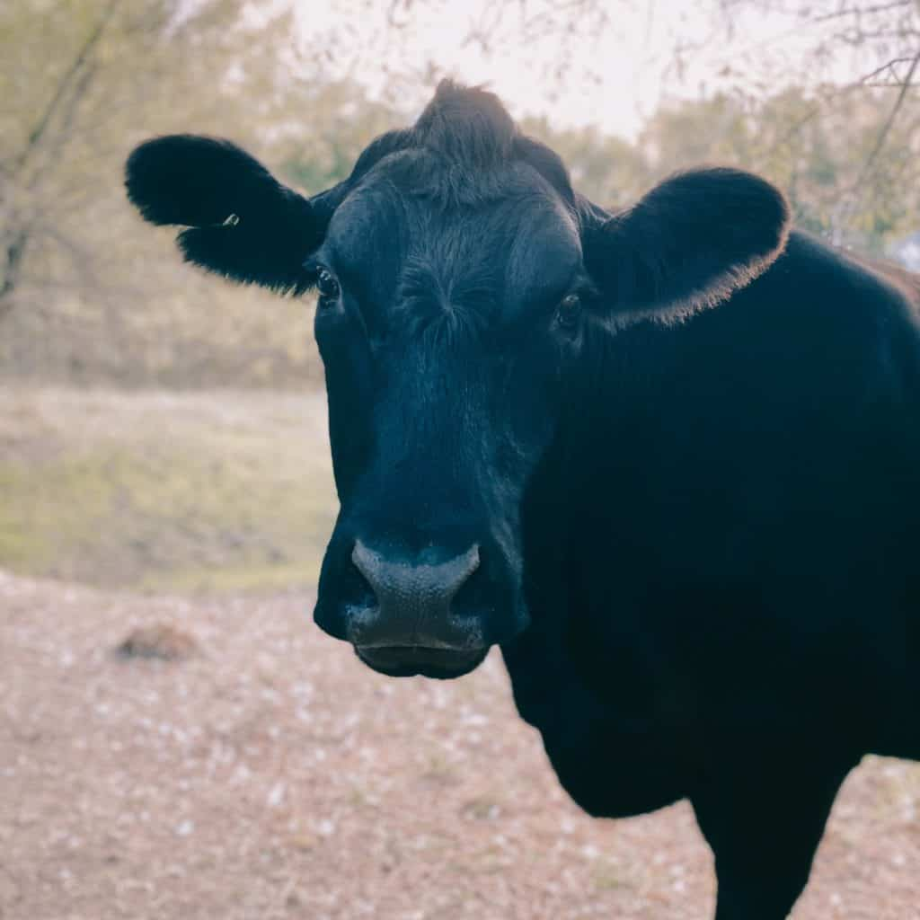 Django, a striking black cow with a distinctive mop of hair at the crown of his head.
