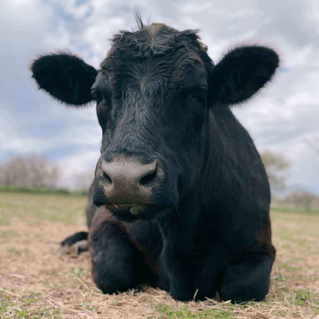 Frank, a cow with a deep black coat and a single nub of a horn on the top left of his head, sitting on the grass with his front legs curled up under him.