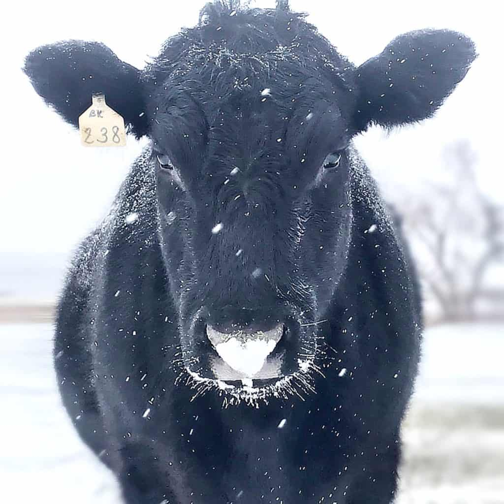 Rocco, a black cow, seen in a striking head-on view, surrounded by a white landscape of snow, with flecks of snow falling on and around him.
