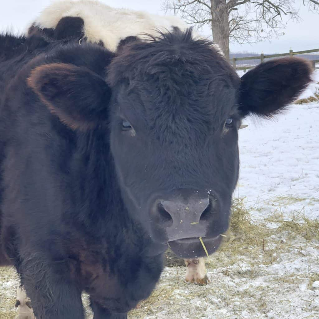 Tucker, a fluffy brownish black cow looking directly at the viewer.
